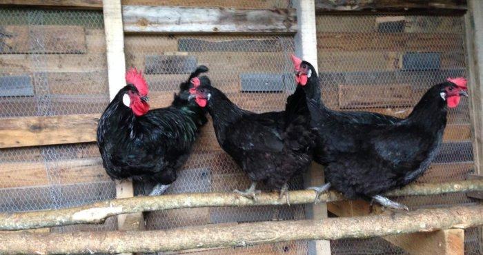 Барбёзьё – мясная порода кур