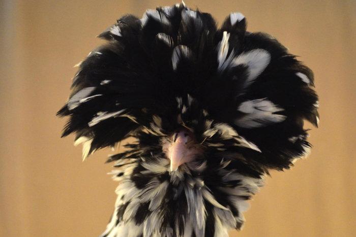 Забавный хохолок курицы гудан