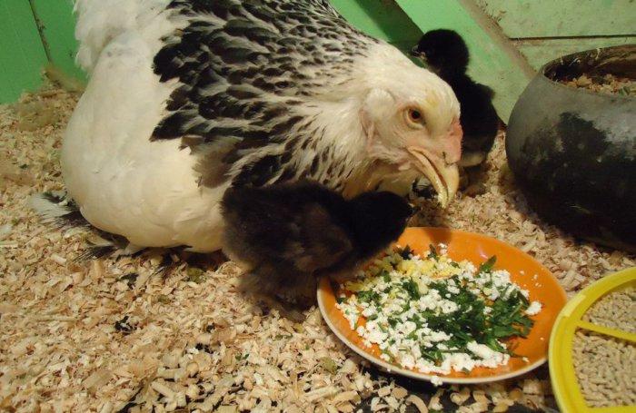 Полноценное питание – залог здоровья кур