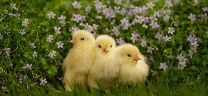 Цыплята на выгуле