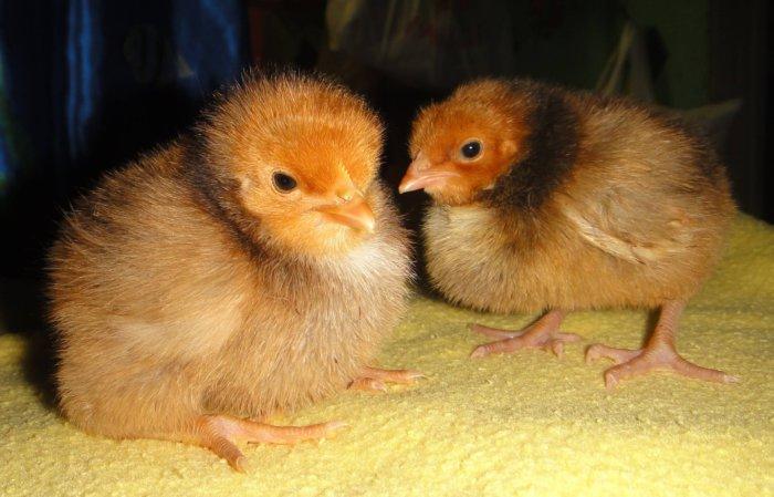 Цыплята орпингтон