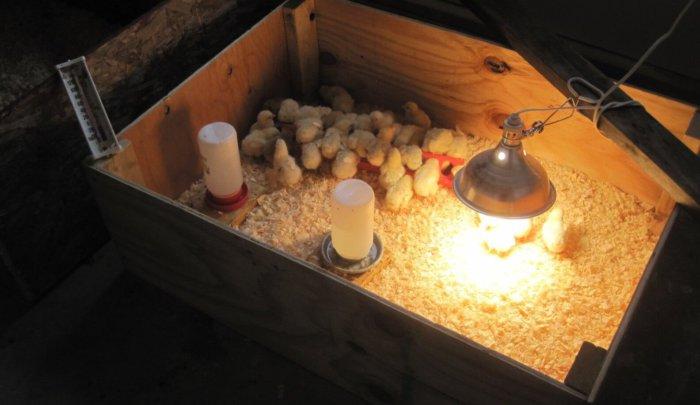 Цыплят содержат в брудере