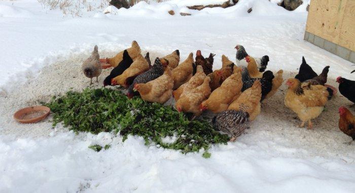 Куры на улице зимой