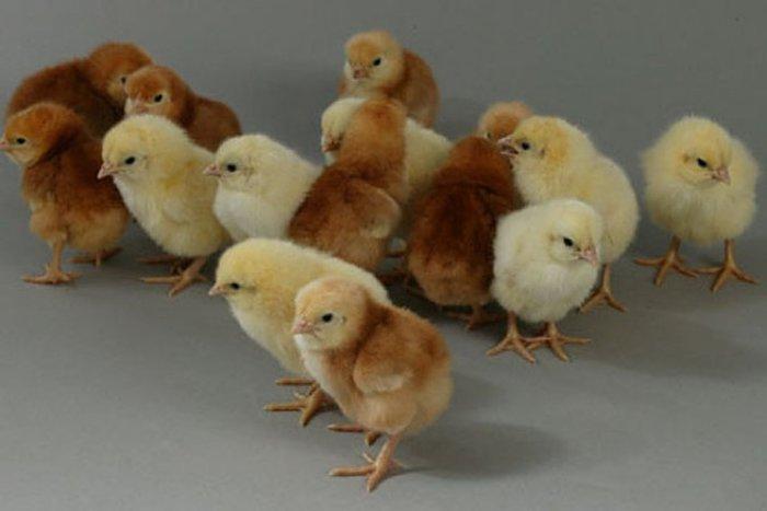 Цыплята родонит аутосексные