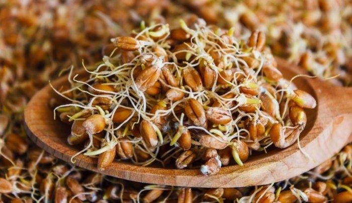 Несушкам полезна пророщенная пшеница
