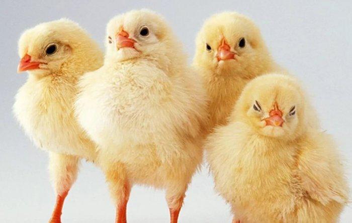 Цыплята ленинградской курицы