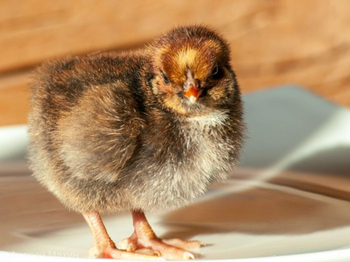 Цыплёнок виандот