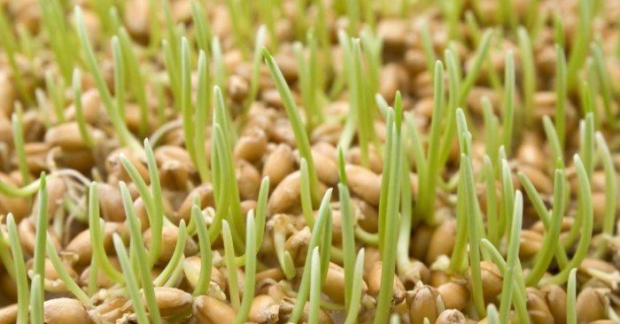 Куры любят пророщенное зерно
