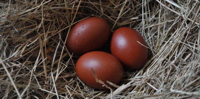 Шоколадные яйца курицы маран