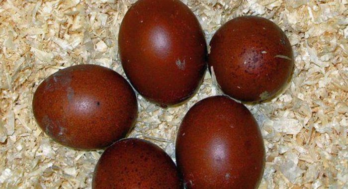 Скорлупа яиц кур маран толстая