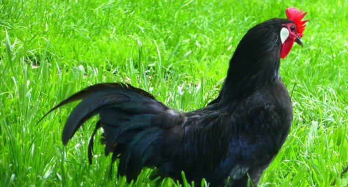 Красота чёрных кур завораживает