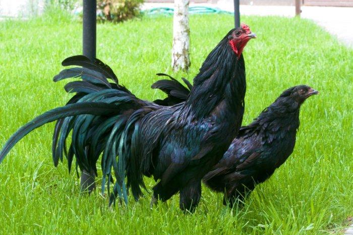 Суматранская порода кур