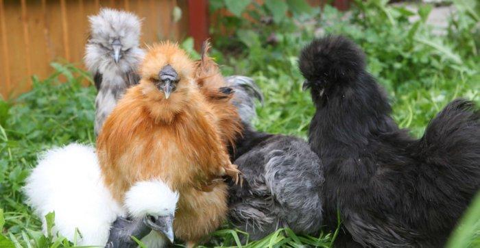 Китайские шёлковые куры с чёрной кожей