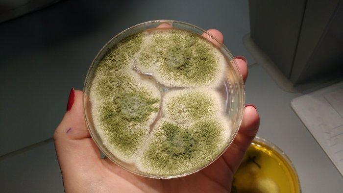 Плесневый гриб аспергилла