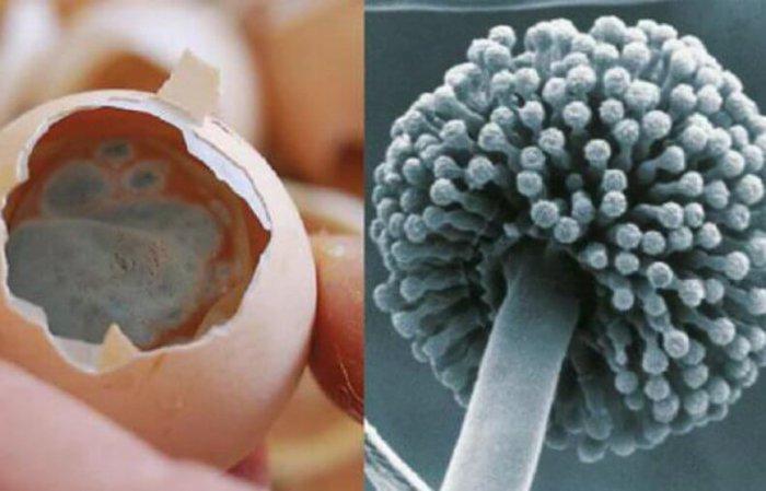 Яйцо, заражённое спорами грибка