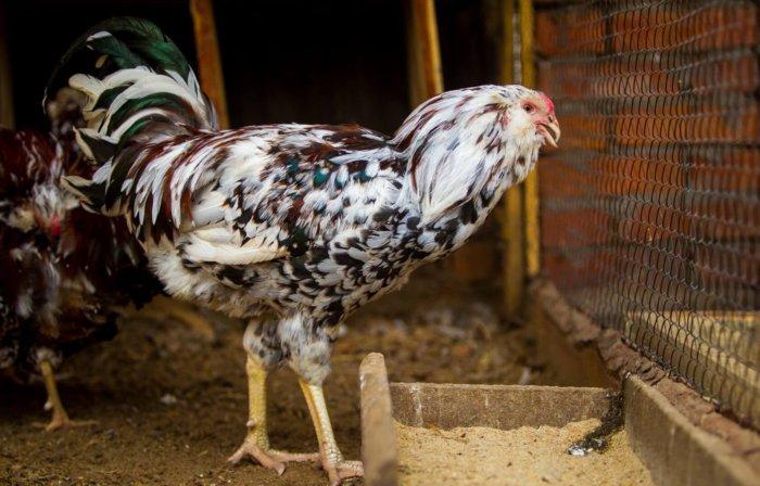 Орловская курица