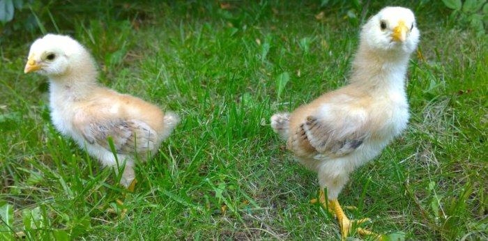 Орловские ситцевые цыплята