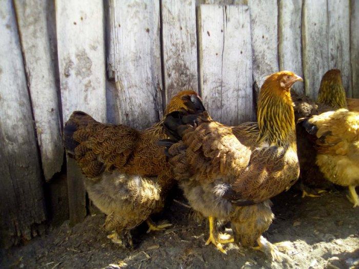 Цыплята брамы куропатчатой