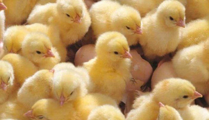 Цыплята иза Хаббард