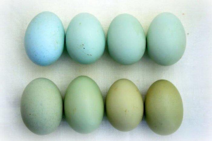 Куриные яйца голубого и зелёного цвета