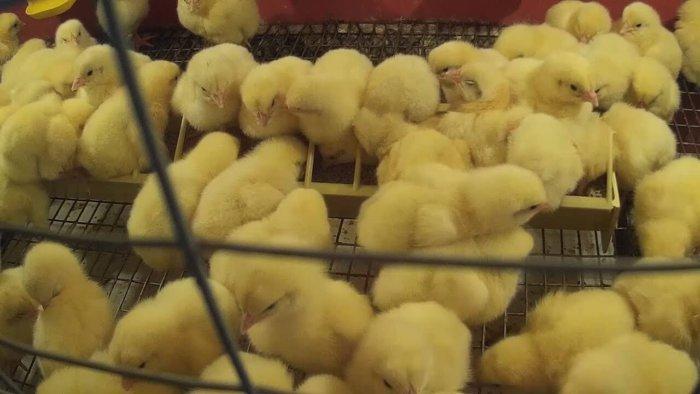 Цыплята-бройлеры в клетке на сетчатом полу