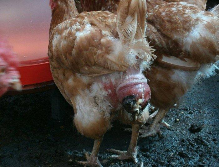 Выпадение яйцевода у курицы