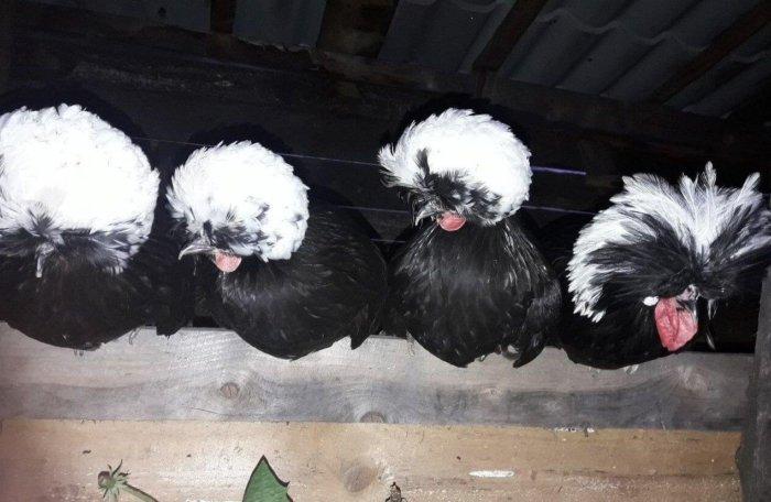 Голландские куры в курятнике