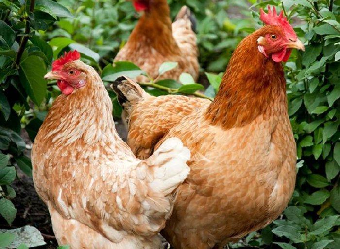 Петух и курица иза браун