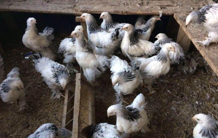 Цыплята светлой брамы