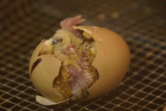Цыпленок вылупился