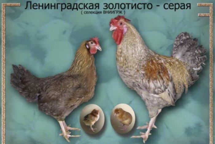 Ленинградская золотисто-серая порода кур