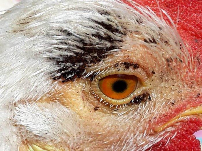 Блохи у курицы