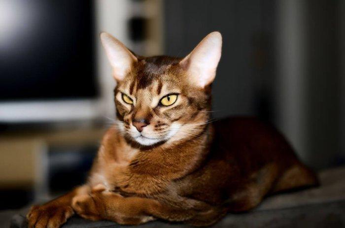 Кот абиссинской породы