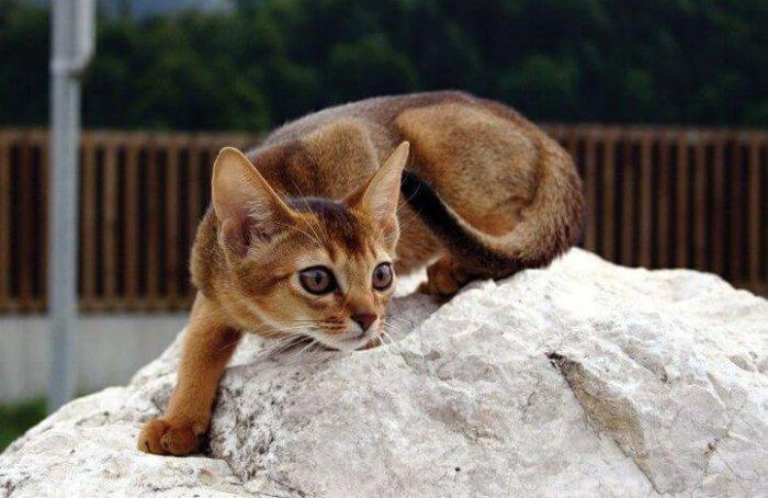 Абиссинские кошки любят играть