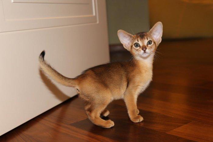 Абиссинский котёнок 2 месяца