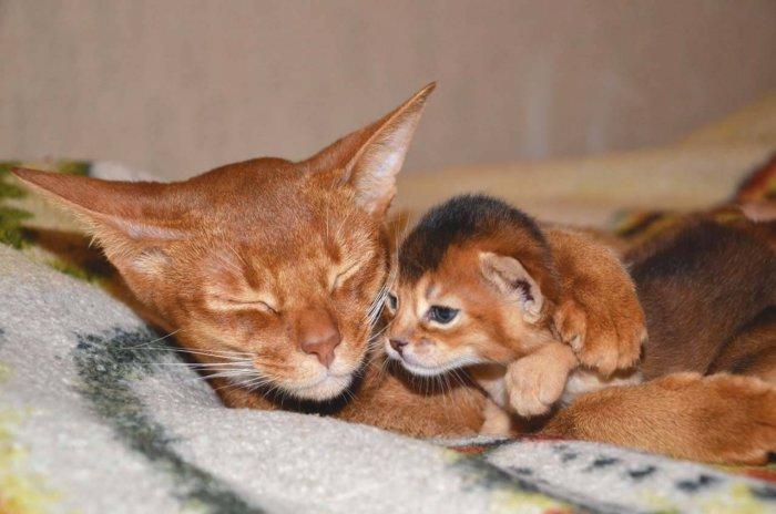 Кошка абиссинской породы с котёнком