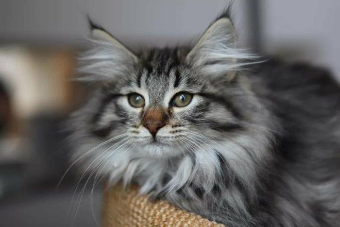 Порода кошек норвежская лесная