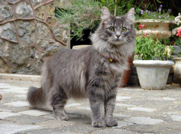 Молодой норвежский лесной кот
