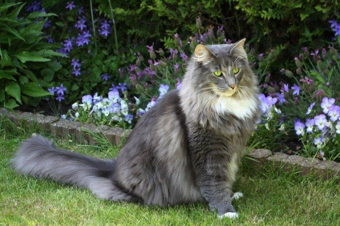 Норвежская лесная кошка на выгуле
