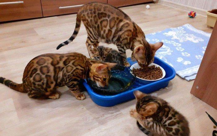 Бенгальские котики едят