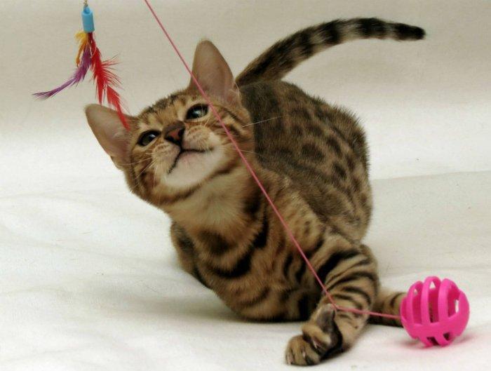 Бенгальские кошки игривые