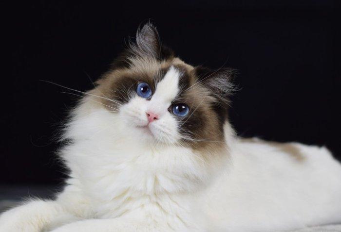 У кошек рэгдолл голубые глаза
