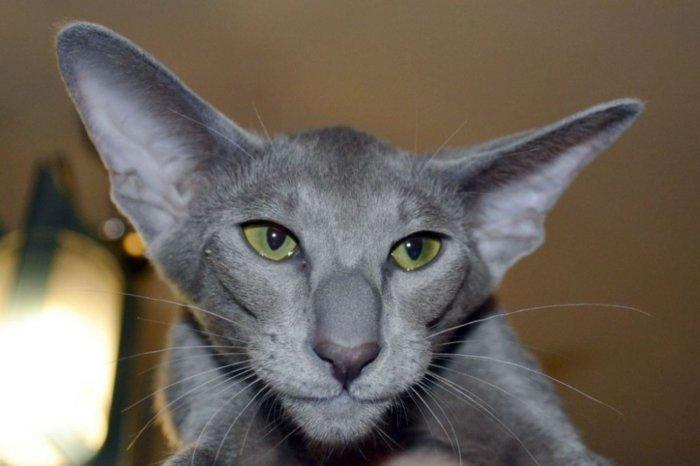 Большие уши ориентальной кошки