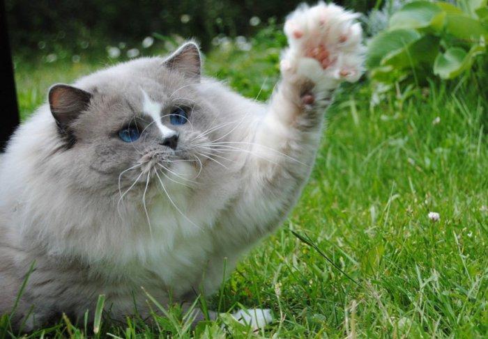 Кошка рэгдолл играет