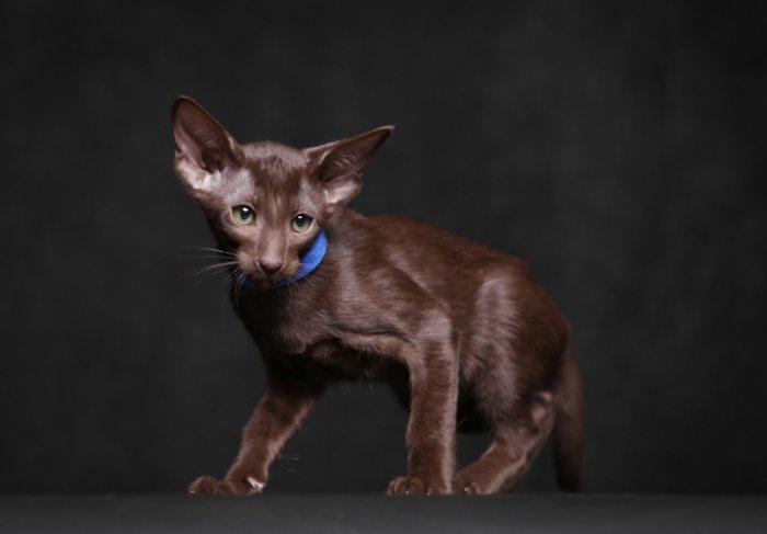 Котёнок с окрасом гавана