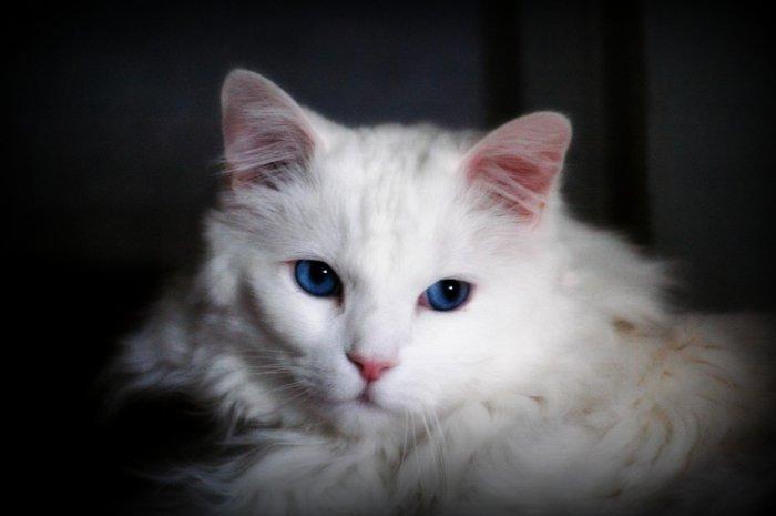 Прародительницей рэгдоллов была белая ангорская кошка