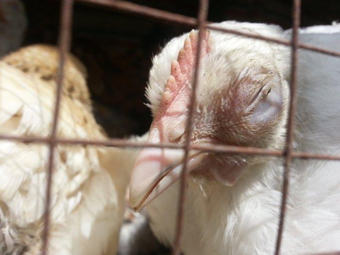 ИБК у цыплят