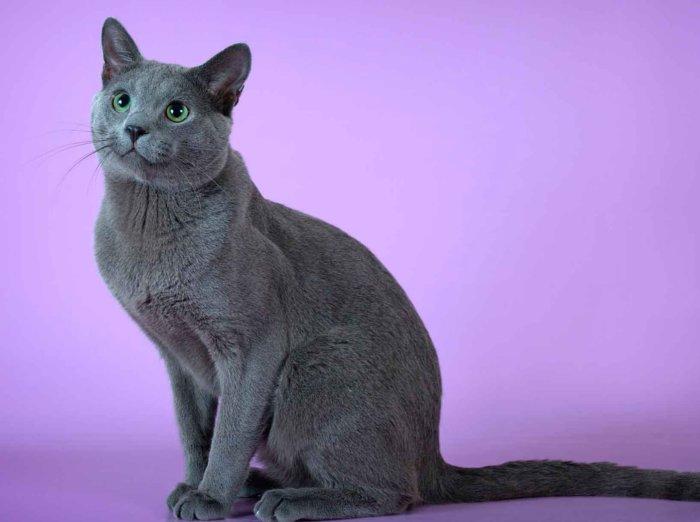 Кот породы русская голубая