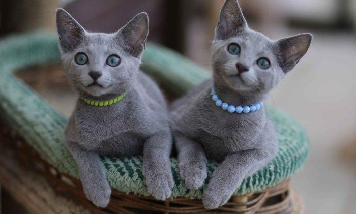 Котята русской голубой породы