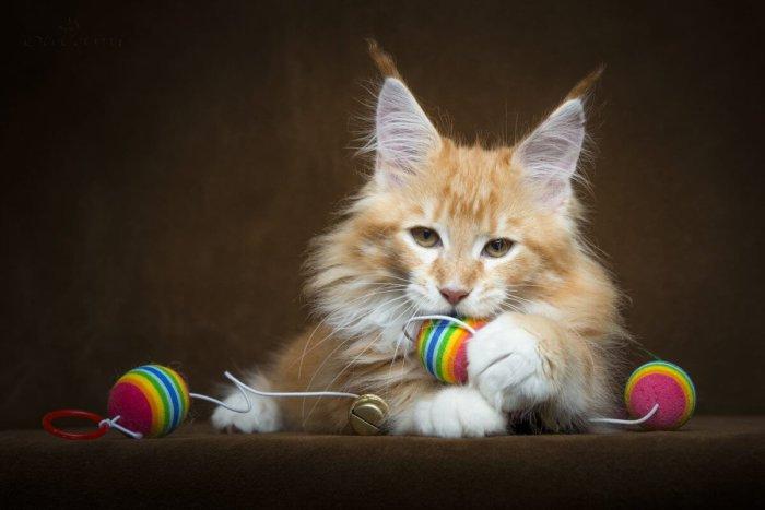 Котенок мейн-кун играет